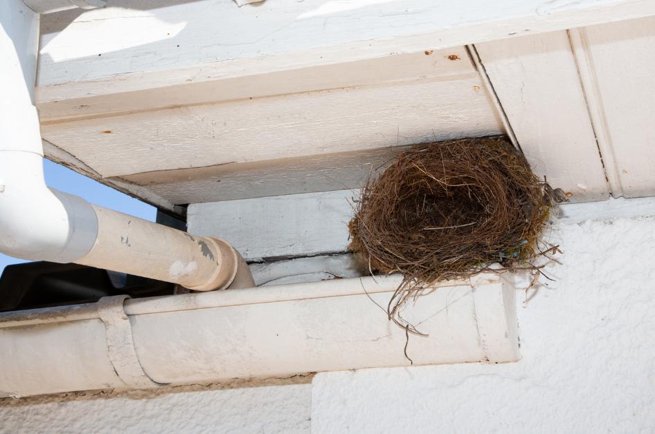 Bird nest in the gutter